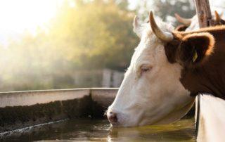 Kuh an der Tränke