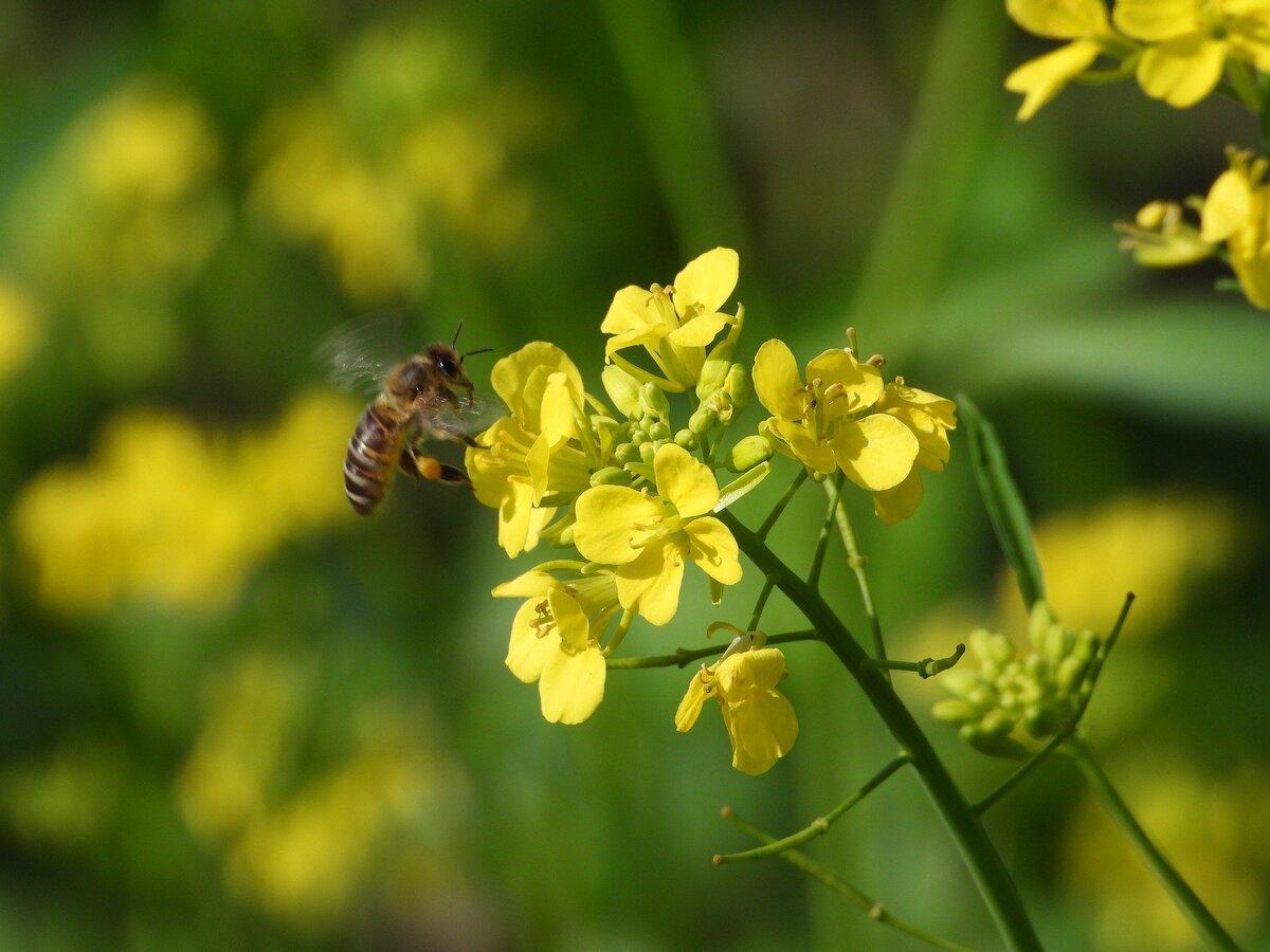 Bee on oilseed rape