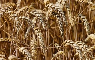 Wheat ready for har­vest­ing