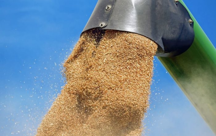 Récolte des céréales – vidange de la trémie par une goulotte