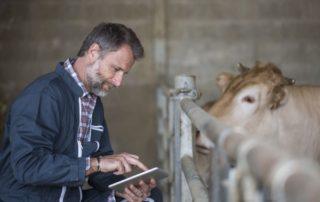 Mann mit Tablet im Rinderstall