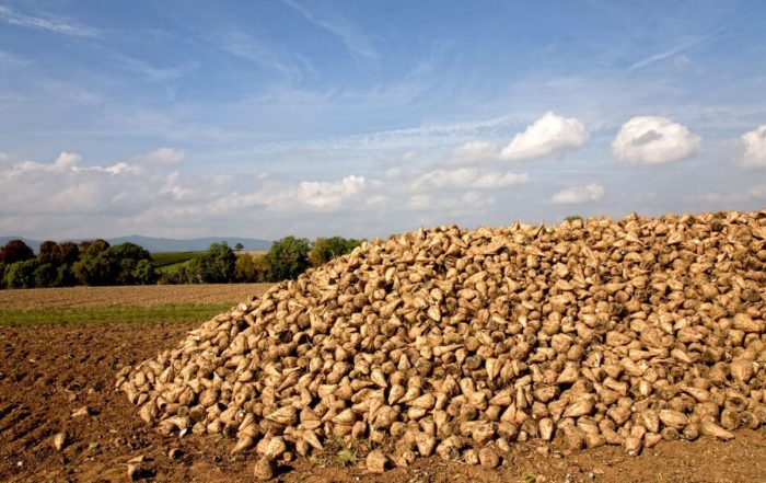 Beet clamp during the sugar beet harvest