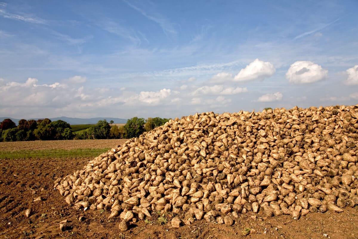 Silo de betteraves après la récolte