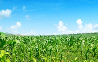 Maisfeld mit Untersaat