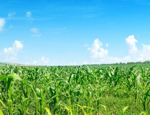 Mais-Untersaat – Maiserträge sichern und Biodiversität fördern