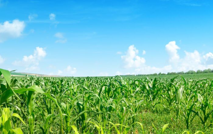 Maize field with nurse crops