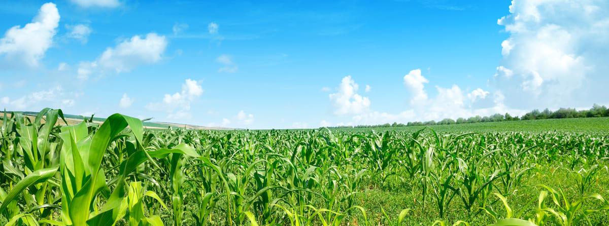 Parcelle de maïs sous couvert végétal
