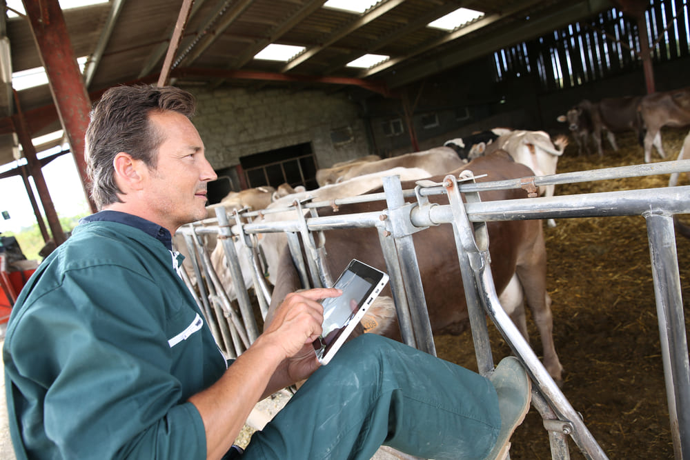 Man consulting a digital tablet in the cowshed.