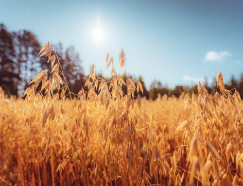 Oats – A crop rotation alternative for arable farms?