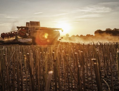 Between rape blossom season and ripening – this is the correct harvesting period for rapeseed
