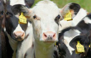 Rasy bydła mlecznego